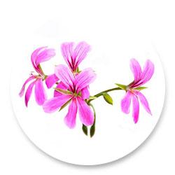 rose_geranium_icons